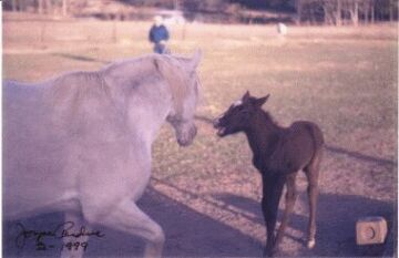 Vulcan as a foal getting sassy with Mom'